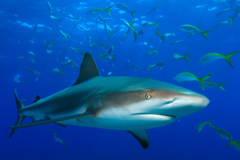 An image of a dusky shark in a school of yellotail snapper off the florida keys.