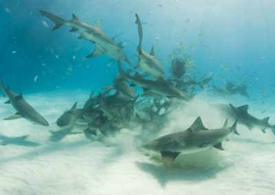 An image of a school of sharks around a piece of bait in the open ocean with a sandy bottom.