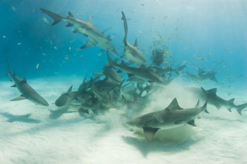 An image of sharks in the ocean on a Keys Shark Diving adventure.