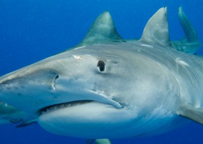 An image of a large tiger shark giving the photographer a look in the florida keys.