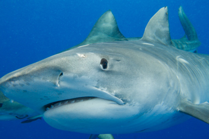 An image of a tiger shark on a keys shark diving adventure of the Florida Keys.