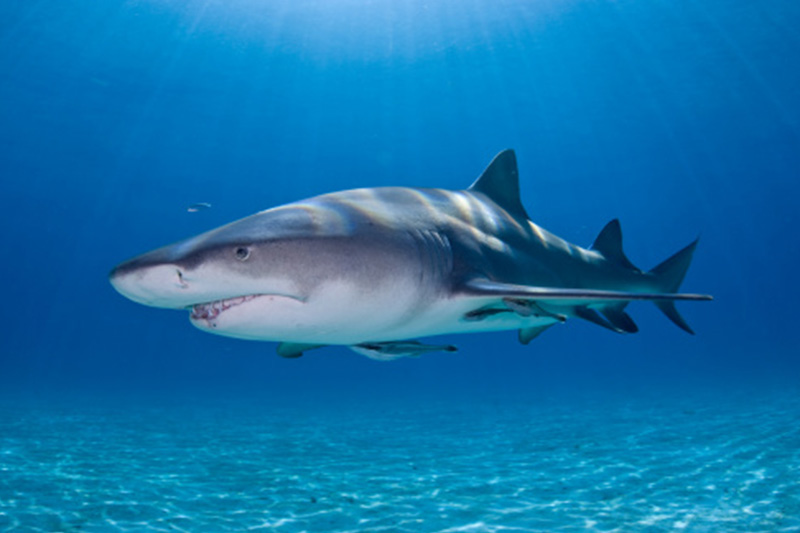 An image of a lemon shark in the waters of the Florida Keys.