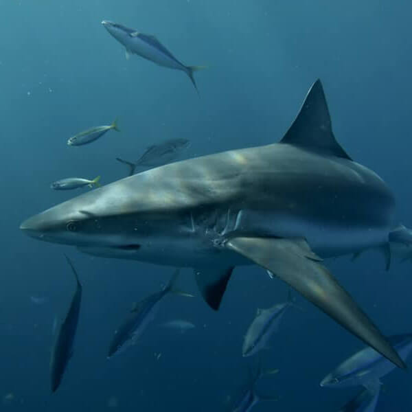 AN image of a blacktip shark found on a keys shark diving experience.