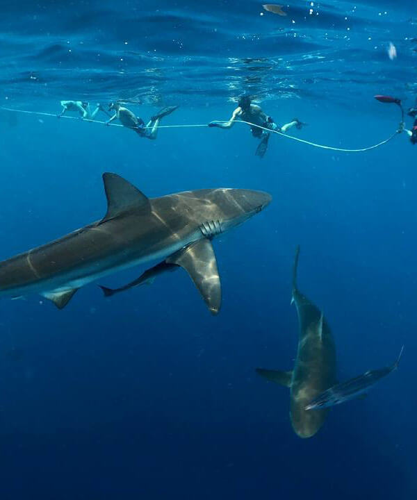 An image of sharks swimming close to a group of divers on a keys shark diving charter.