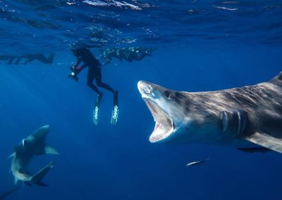 An image of a diver in the water with sharks in the Florida Keys