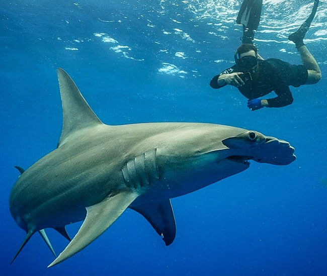 An image of a diver on a keys shark diving trip diving with a hamerhead shark.