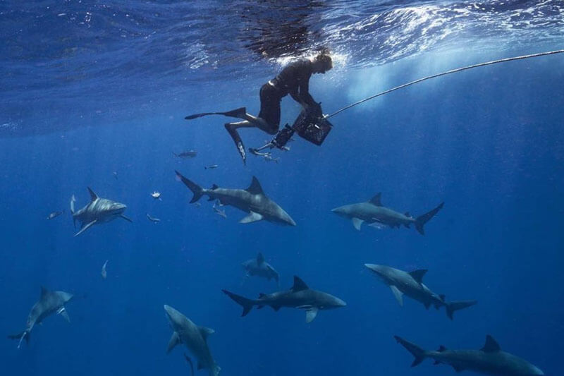 An image of a diver with a group of sharks below him on a keys shark diving trip