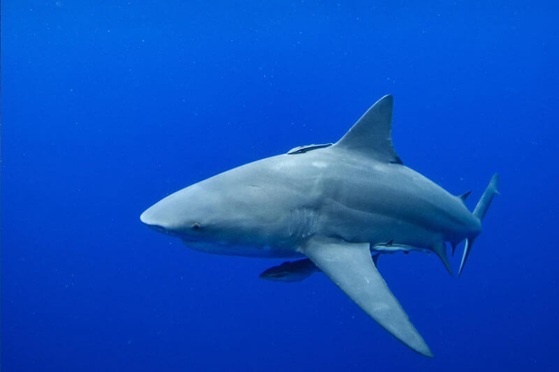 An image of a powerful shark in the open ocean during a florida keys shark diving trip.